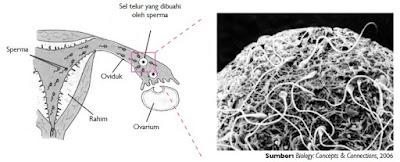 Pembuahan sperma terhadap sel telur yang terjadi di oviduk.