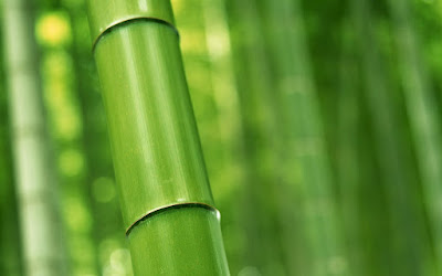 Μπαμπού: φύτεμα, καλλιέργεια