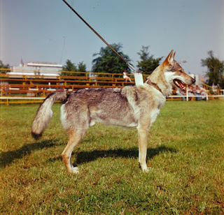 Czechoslovakian Wolfdog-pets-dogs-dog breeds-pet