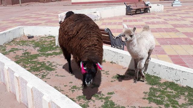 Aber es ist auch schon fast alles Gras in den Mägen der Lamas gelandet