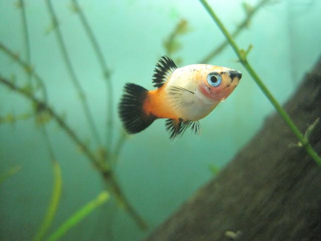 Jenis Dan Daftar Harga Ikan Molly