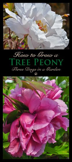 How to Grow a Tree Peony