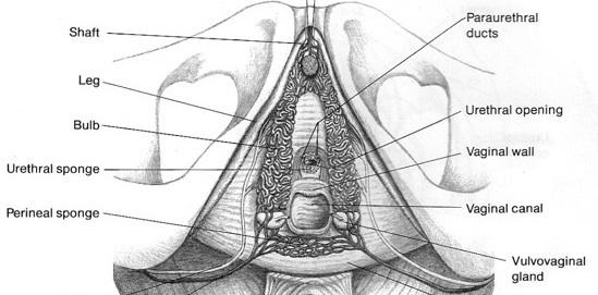 asesinato de diagnóstico de uretritis femenina