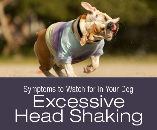 Symptoms to Watch for in Your Dog: Excessive Head Shaking