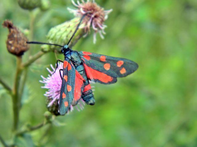 motyle, owady, łąka, polne kwiaty