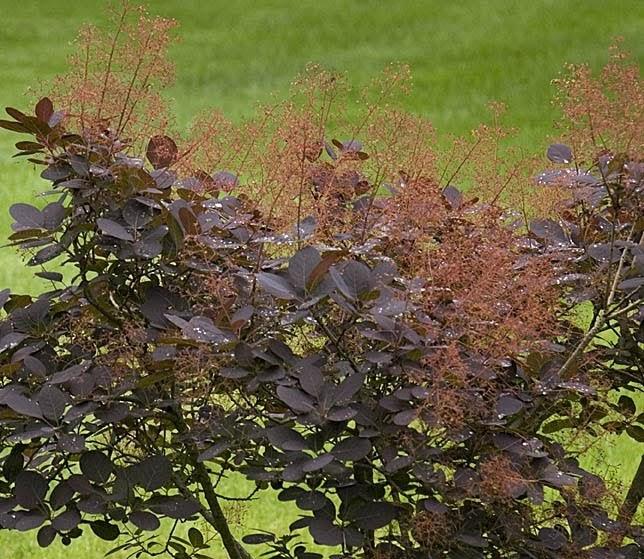 Ferida's Backyard: Smoke Tree