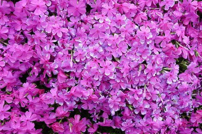 flores de Phlox