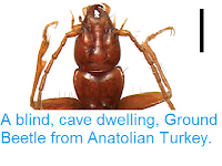 http://sciencythoughts.blogspot.co.uk/2013/06/a-blind-cave-dwelling-ground-beetle.html