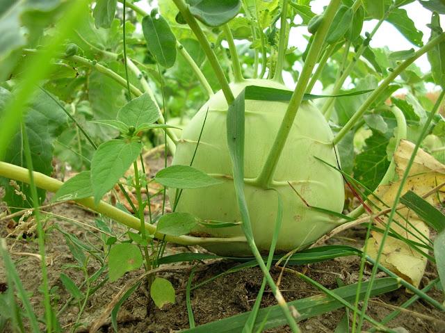 warzywo, ogród, uprawa