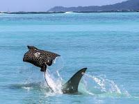 10 Fakta Ikan Pari (Stingray)