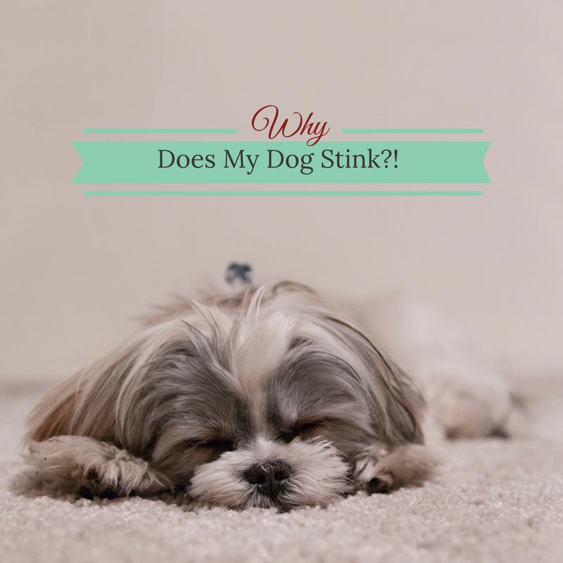 Bark City Doggy Daycare: Why Does My Dog Stink?
