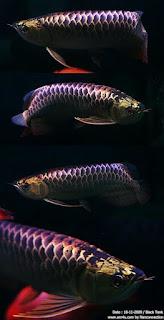 Arowana Fish 3d Live Wallpaper Cute Live Wallpaper Dragon Fish Arowana Beauty 4