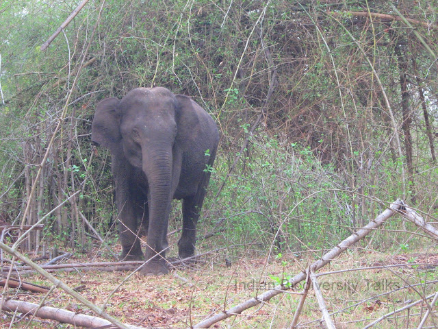 Indian elephant, wild elephant, elephant intrusiondetection system, Rajiv gandhi national park, Nagarhole National Park, Karnataka