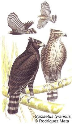 Águila crestuda negra Spizaetus tyrannus