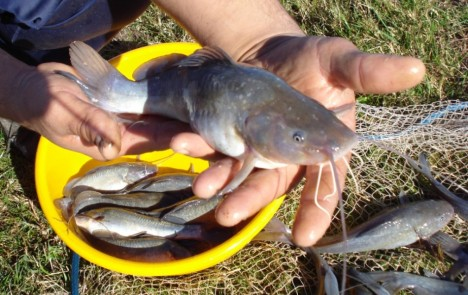 Acuicultura y pesca continental en argentina bagre negro for Cria de tilapia en casa