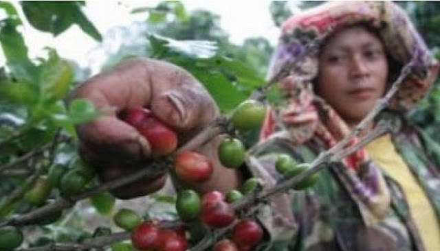 INDONESIA COFFE TO GET GOOD PROMOTION AT AMERICA'S COFFEE EXPO