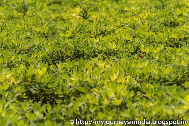 Ground Nut field in North Karnataka