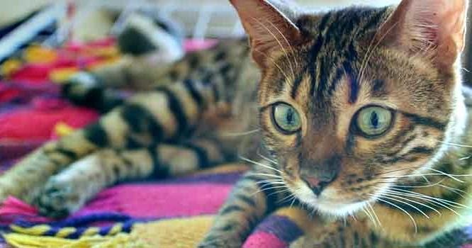 Kucing Bengal Alam Kucing