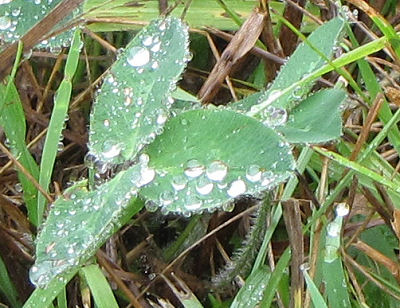 raindrops on clover