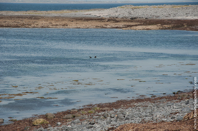 Foca en Islas Aran Inishmore Irlanda