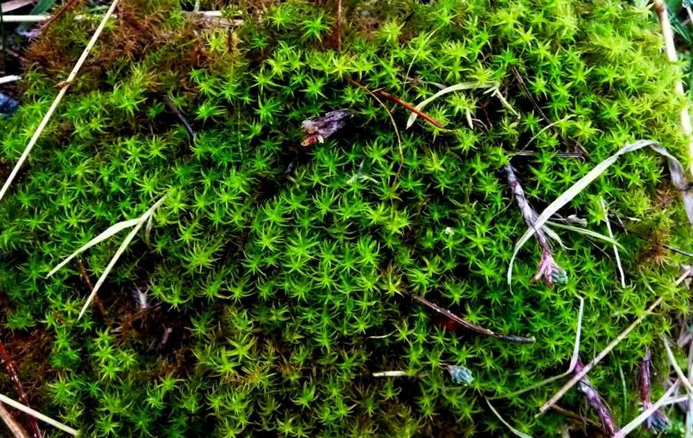 R O B I N  U0026 39 S Y A R D  Star Moss
