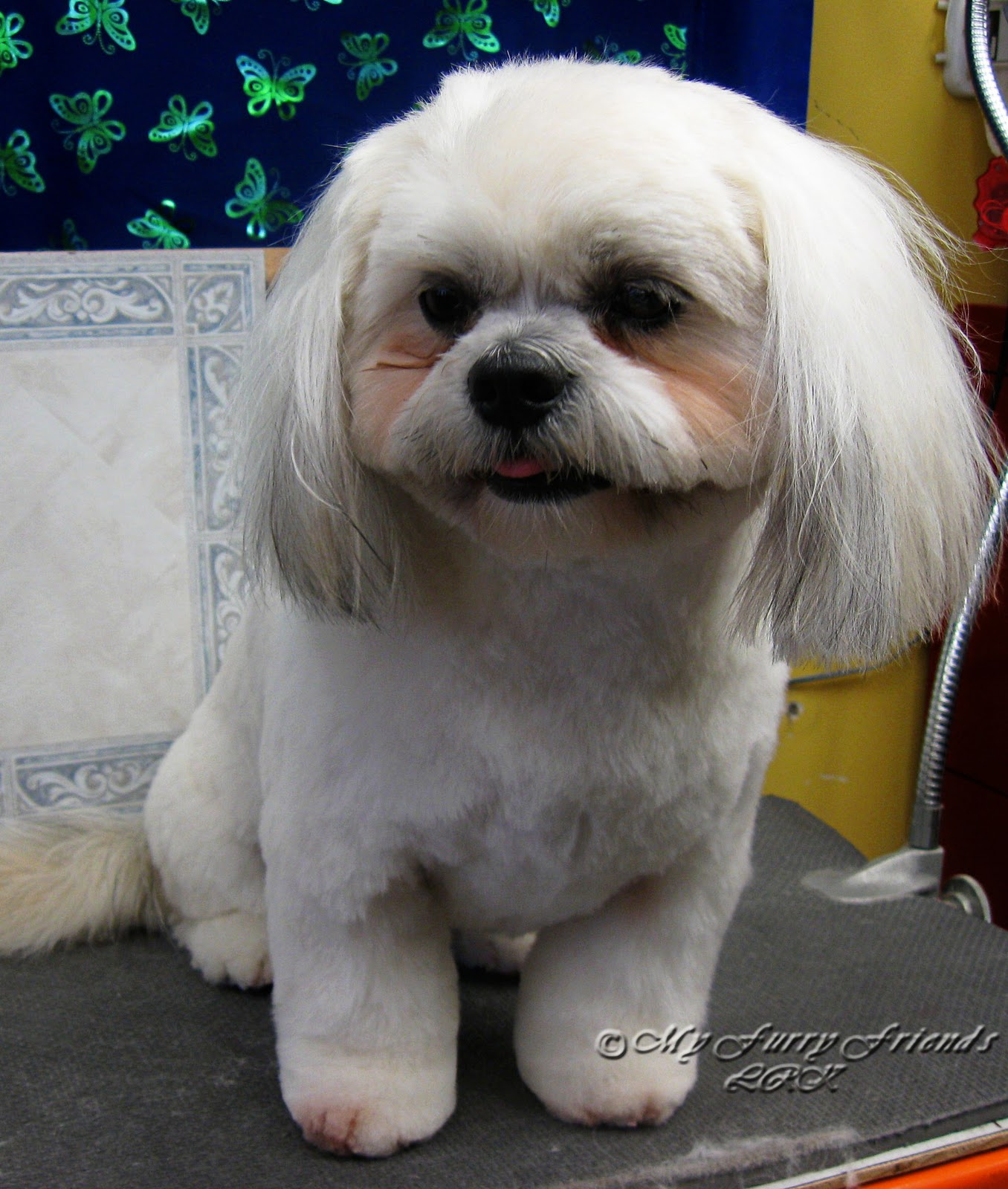 shih tzu face cut pet grooming the good the bad the furry scissoring a 2235