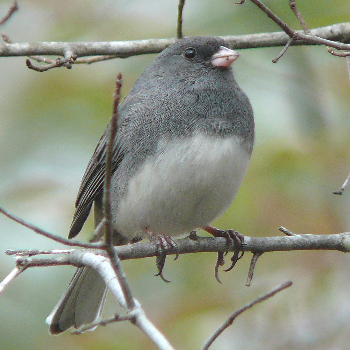 Wild Birds Unlimited: Small gray bird with white belly