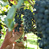 O que fazer em São Roque: o roteiro do vinho em SP