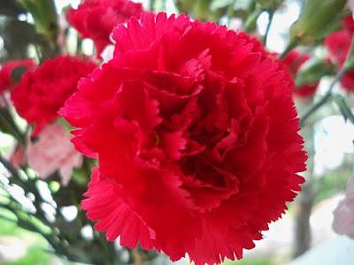 Canartion - Hoa cẩm chướng 3