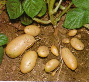 Dibujo de papas con su raíz