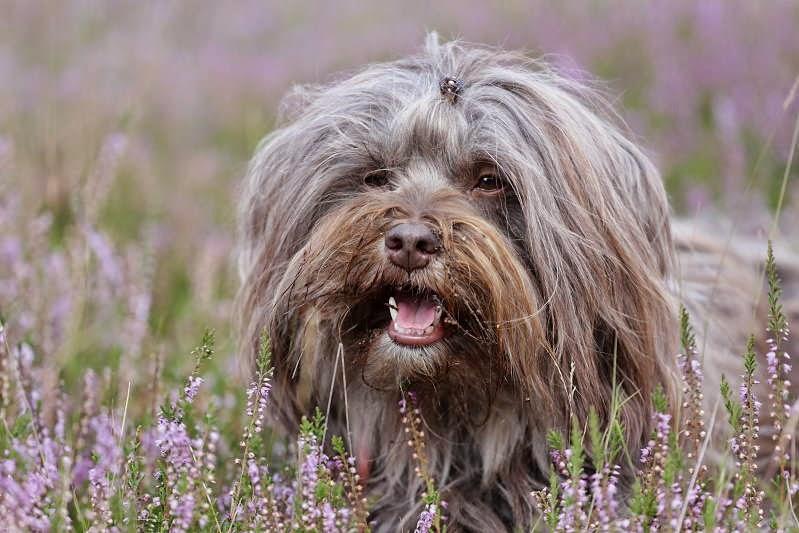 Chirus Tibet Terrier Freundin Raya in der Heide