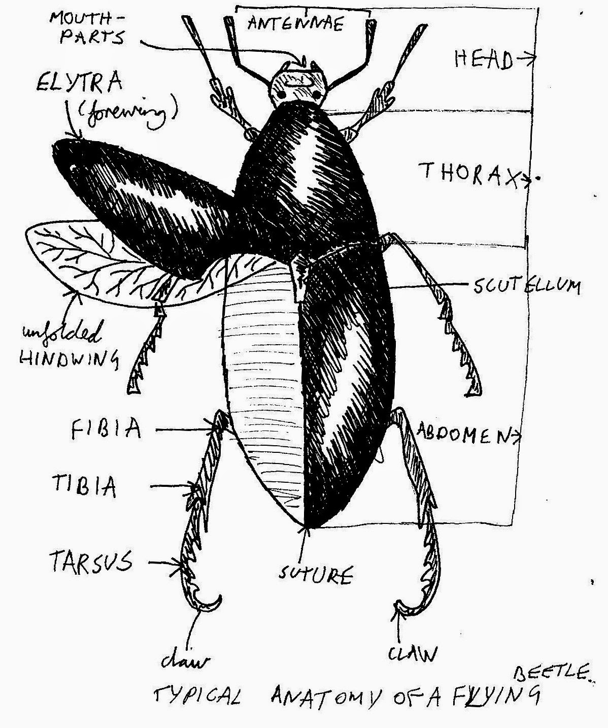 Zoology Essays Notes On Objects Longhorn Beetle And Ammonite