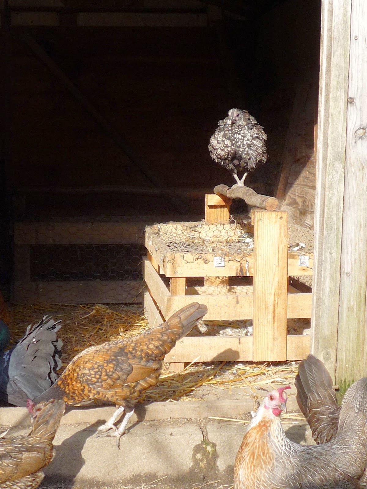 Pallet wood perch for hen house with hens