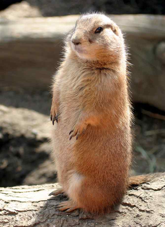 Holly anthony our very own pet prairie dog - How do you make wild animal in little alchemy ...