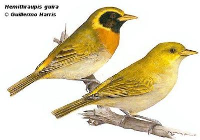Saíra dorada Hemithraupis guira