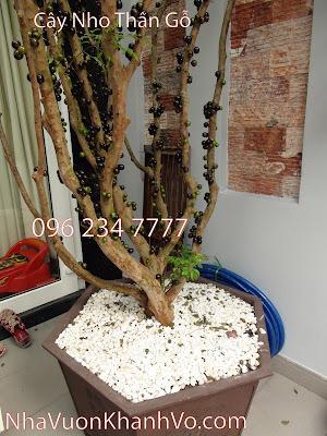Đặc điểm nào làm nên ý nghĩa của cây nho thân gỗ?