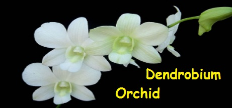 Dendrobium Orchid Flower Image