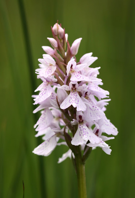 Heath Spotted Orchid - Powys, Wales
