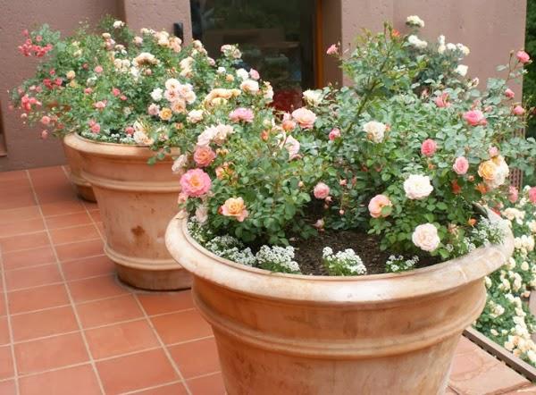 Cultivar rosales en la terraza guia de jardin for Macetas miniatura