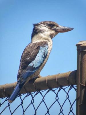 Cucaburra ala azul Dacelo leachii