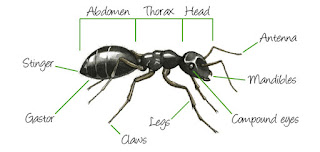 Anatomy of ants