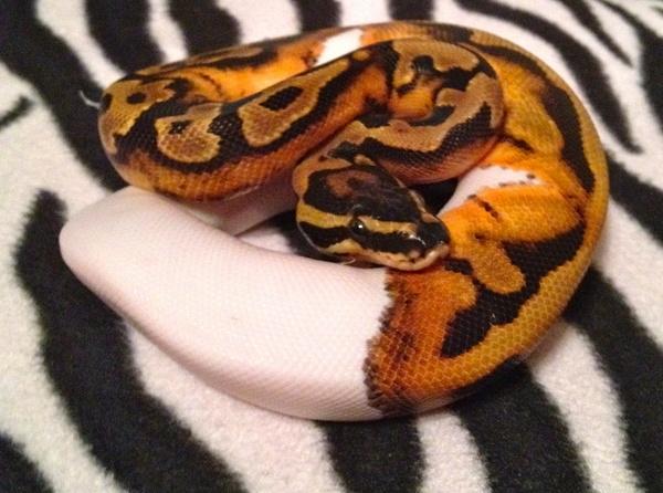 Snake Eyes Hd Wallpapers Snakes Piebald Ball Python