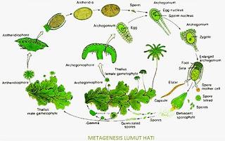 perbedaan-metagenesis-tumbuhan-paku-dan-lumut,jelaskan-metagenesis-tumbuhan-paku-dan-lumut,skema-metagenesis-tumbuhan-paku-dan-lumut,