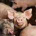 Jika Diharamkan,,Lalu Untuk Apa Babi Di Ciptakan..!!! Brikut Penjelasanya : Tolong Bantu SHARE ..