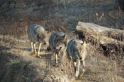 群れで歩く多摩動物公園のタイリクオオカミ