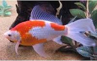 jenis ikan koki Comet goldfish cantik ikan tercantik