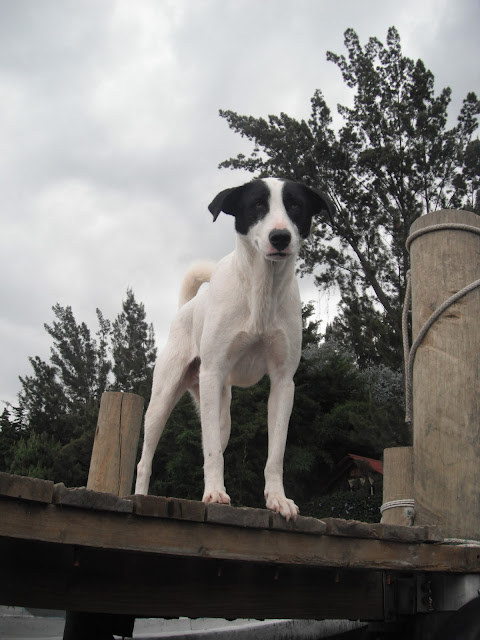 dog Guatemala perro chucho