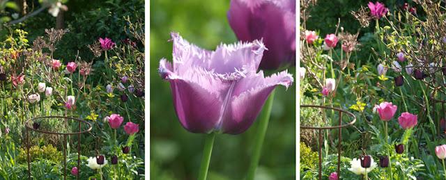 Tulipaner i rosa og lilla toner