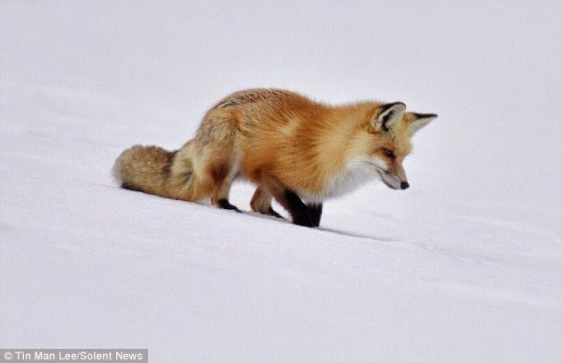 Borealis How This Wild Red Fox Hunts For Mice In The Deep Snow Is