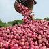 Pemupukan Bawang Merah pada Musim Hujan